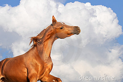 Chestnut arabian stallion runs on the clouds