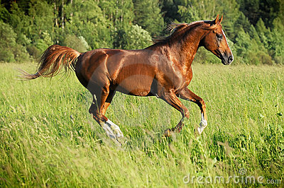 Chestnut arabian stallion runs gallop
