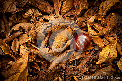 Chestnut in a Autumn Foliage