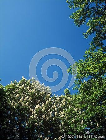 Chestnut blossoms.