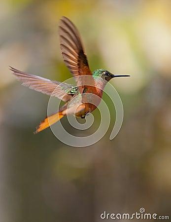 Chestnut-breasted Coronet in flight