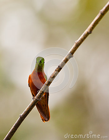 Chestnut-breasted Coronet on twig