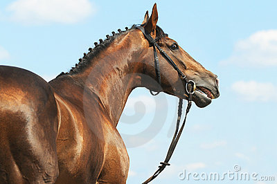 Chestnut Don horse stallion portrait