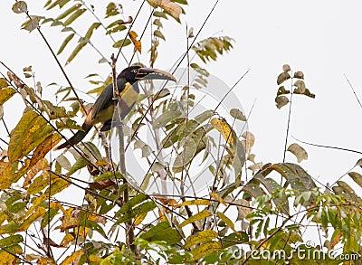 A Chestnut-eared Aracari