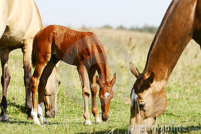 Chestnut filly with herd