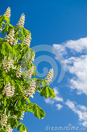 Free Chestnut Flowers Against Blue Sky Stock Photography - 55130262