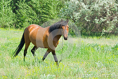 Chestnut horse is ambling on a spring pasture