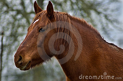 Chestnut horse close up in profile