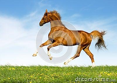 Chestnut horse gallops in field