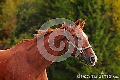 Chestnut horse head, autumn background