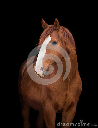 Free Chestnut Horse Head On Black Royalty Free Stock Photos - 48519938