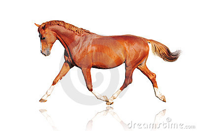 Chestnut horse isolated
