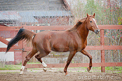 Chestnut horse in the paddock