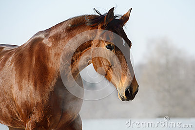 Chestnut horse portrait in winter