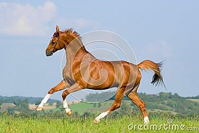 Chestnut horse run on the green hill.