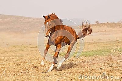Chestnut horse running
