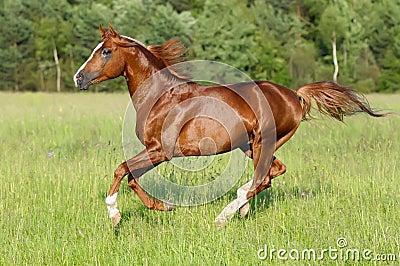 Chestnut Horse Runs Ga...