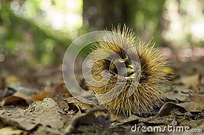 Chestnut husk in undergrowth