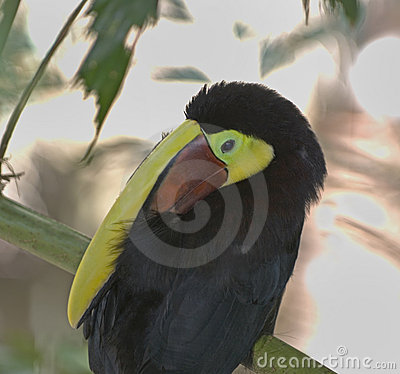 Chestnut mandibilled toucan