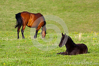 Chestnut mare and black foal