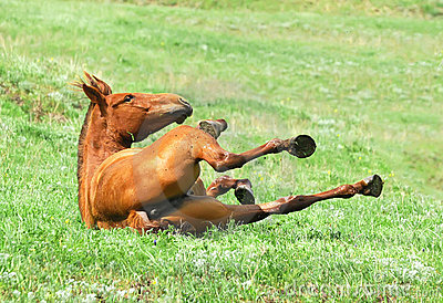 Chestnut mare rolling in the grass on pasture