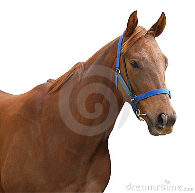 Chestnut Racehorse