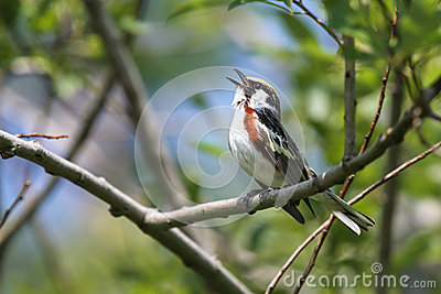 Chestnut-sided Warbler Singing
