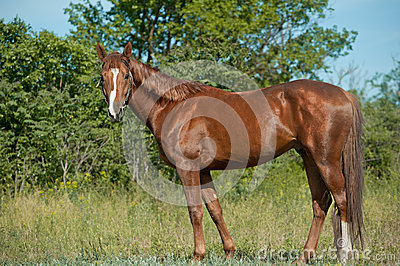 Chestnut stallion