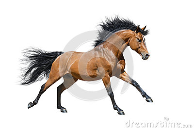 Chestnut stallion in motion