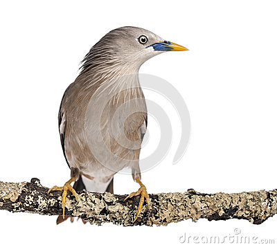 Chestnut-tailed Starling perched on a branch