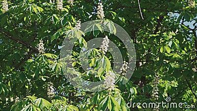 Chestnut-träd blommar mycket vackert lager videofilmer