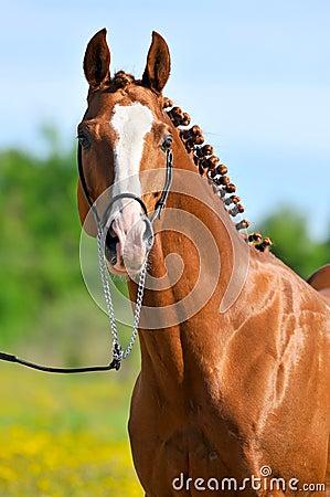 Chestnut Trakehner horse stallion portrait