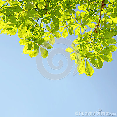 Free Chestnut Tree Stock Images - 41896384