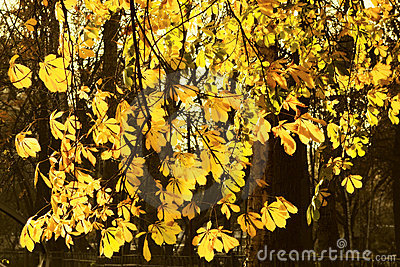 Chestnut tree autumn background