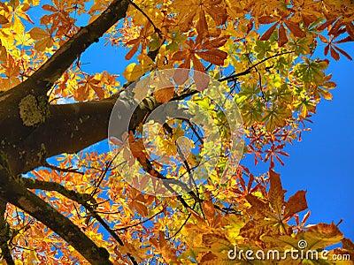 Chestnut tree crown