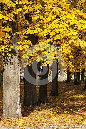 Free Chestnut Tree In Autumn Royalty Free Stock Image - 34595026