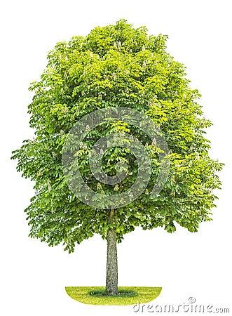 Free Chestnut Tree Isolated On White Background. Blosoming Spring Pla Stock Photo - 54804080