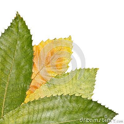 Chestnut Tree Leaves