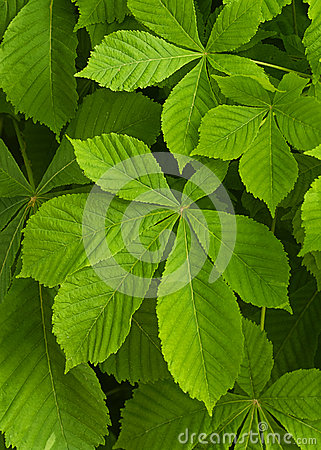 Free Chestnut Tree Leaves Stock Images - 31093764