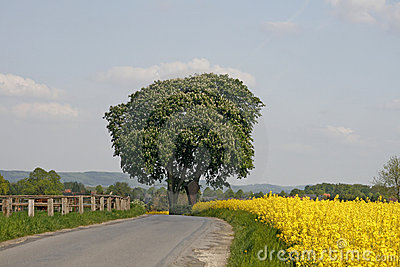 Chestnut tree with rape field in spring
