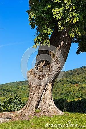 Free Chestnut Tree Trunk - Detail Royalty Free Stock Photos - 44053648