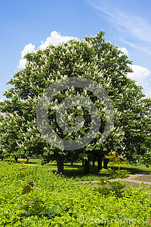 Free Chestnut Tree With White Flowers And Blue Sky Stock Photo - 32721460