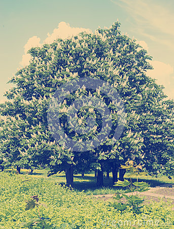 Free Chestnut Tree With White Flowers And Blue Sky Royalty Free Stock Photo - 54864875