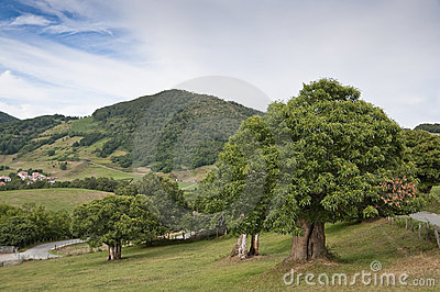 Chestnut trees in Navarra countryside