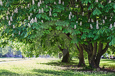Chestnut trees in park