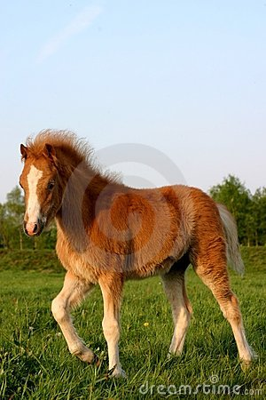 Chestnut welsh foal
