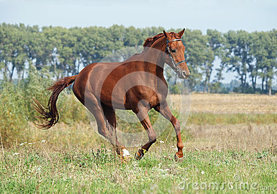 Chestnut young stallion galloping