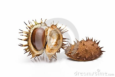Chestnuts in its capsule.