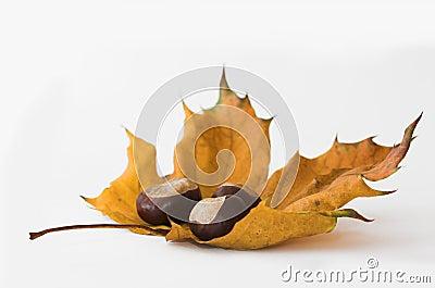 Chestnuts & leaf