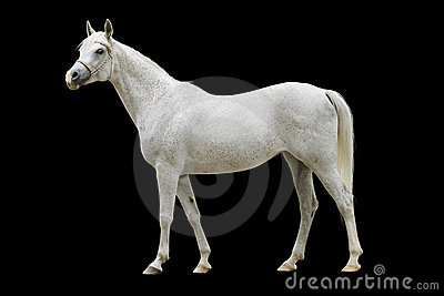 Cheval arabe blanc d isolement